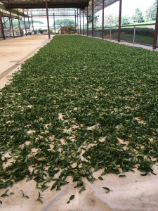 Solar withering of tea leaves